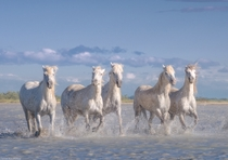 Wild white horses of the Camargue Nature Park France by Danil Korzhonov