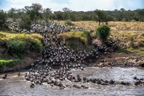 Wildebeests crossing the Mara river in Tanzania
