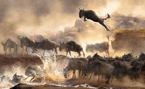 Wildebeests Migration Kenya Savanna