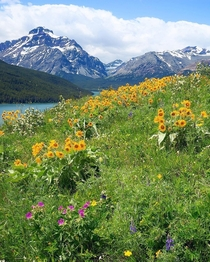 Wildflowers amp Lavender Glacier National Park