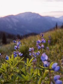 Wildflowers atop Hurricane Ridge Olympic NP OC