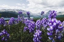 Wildflowers blooming at glacier national park
