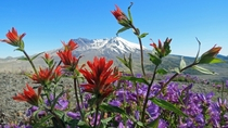 Wildflowers in front of Mount St Helens WA - June   - OC x