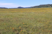 Wildflowers of Bear Valley Rd Colusa County CA
