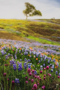 Wildflowers of Northern California OC x