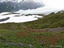 Wildflowers over Exit Glacier - Kenai Fjords National Park Alaska