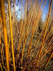 Willow adding colour to a bright winters day