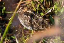 Wilsons snipe hiding in the foliage