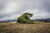 Wind-blown tree in Jenner California