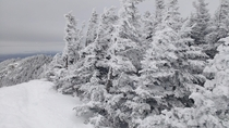 Windblown snow-encrusted trees in the Adirondack Park Upstate NY