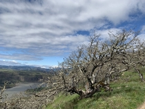 Windblown tree on Cherry Orchard Trail WA USA