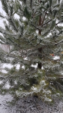 Winter embracing a pine tree