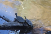 Winter turtles