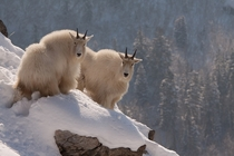 Winter Wonderland Rocky mountain goats