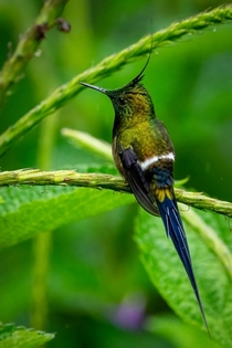 Wire-crested Thorntail Hummingbird