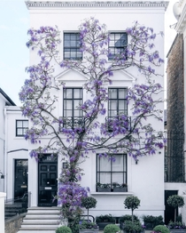 Wisteria climbing up a home in South Kensington London