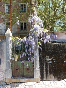 Wisteria flowers over taking a gate in Sintra Portugal