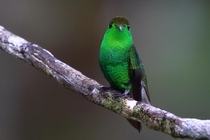 With hummingbirds its all about the angle Coppery-headed Emerald