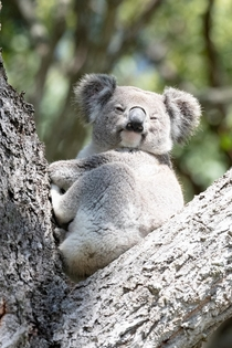 Woke up to a koala chilling in my backyard this morning first time Ive seen one outside of captivity