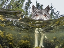 Wolf checking out a partially submerged camera photo by Ian McAllister