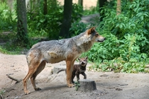 Wolf Mother and pup Photo credit to Manfred Richter