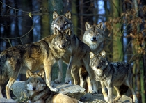 Wolf Pack stare down at Bad Mergentheim Wildlife Park in Germany Photo by Harald Grunwald