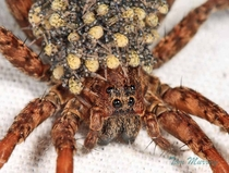 Wolf Spider carrying her babies