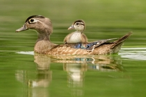 Wood duck Aix sponsa and duckling Peter Brannon