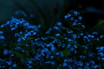 Wood Forgetmenots after dark in the Tongass