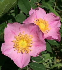 Wood Rose - Rosa woodsii