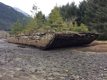 Wooden barge growing new life in Sayward estuary BC