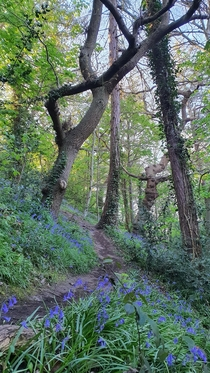 Woodland trail through bluebells this morning in the Frome Valley Bristol UK