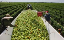 Workers fill a trailer with tomatoes as they harvest them in the fields of DiMare Farms in Florida City Florida