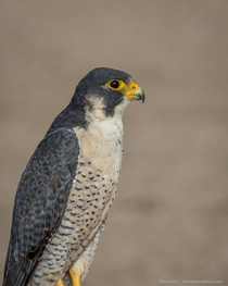 Worlds fastest animal Peregrine Falcon Falco peregrinus - Little Rann of Kutch Gujarat India