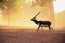 x-post from rExplorePakistan A Blackbuck at the Lal Suhanra National Park Pakistan