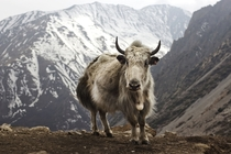 Yak Bos grunniens at Letdar on the Annapurna Circuit in the Annapurna mountain range of central Nepal