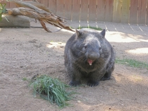 Yawn Common Wombat Vombatus ursinus at Ballarat Wildlife Park Australia  x-post rWombats