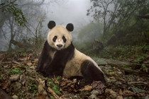 Ye Ye a -year-old giant panda lounges in a wild enclosure at a conservation center in Wolong Nature Reserve