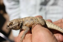 Yellow backed spiny lizard Sceloporus uniformus found in the Panoche Valley California