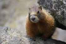 Yellow-bellied Marmot at Yellowstone National Park Marmota flaviventris x-post from raww