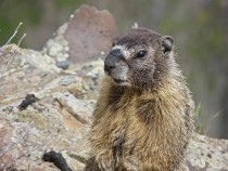 Yellow Bellied Marmot Marmota flaviventris
