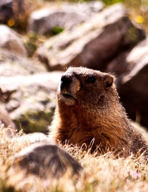 Yellow-Bellied Marmot Marmota flaviventris  OC