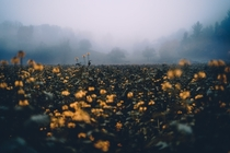Yellow blossoms during a foggy November evening in Odenwald Germany Birkenau