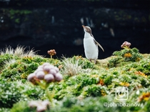 Yellow Eyed Penguin Enderby Island New Zealand Subantarctic