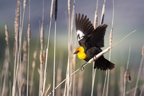 Yellow Headed Blackbird Xanthocephalus xanthocephalus -Cache Valley Utah