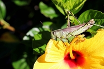 Yellow Hibiscus Being Eaten by a Hungry Grasshopper