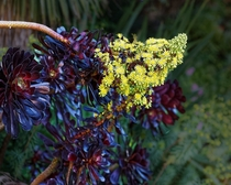 Yellow inflorescence of Purple Aeonium Arboreum