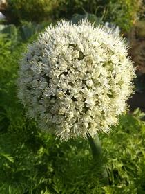Yellow Onion Allium Ce...