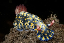 Yellow Spotted Seaslug Hypselodoris infucata