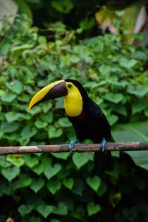 Yellow throated toucan Ramphastos ambiguus from La Fortuna Costa Rica
